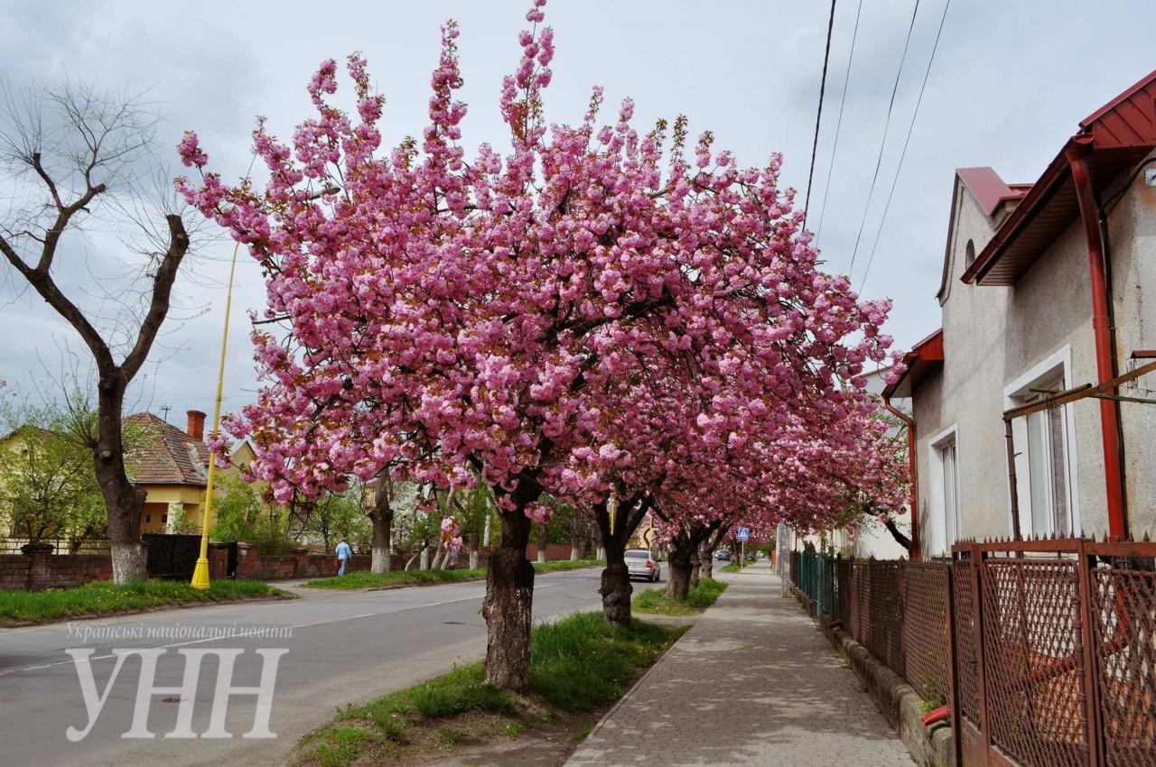 bcf6132f35d27528689effb55a1e47a10f227bad Как цветут сакуры в Ужгороде