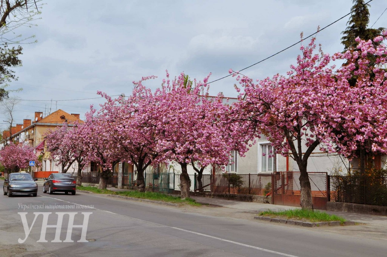 c9865d727cdcc9dce3783c3baf284e9b8e6af2f9 Как цветут сакуры в Ужгороде