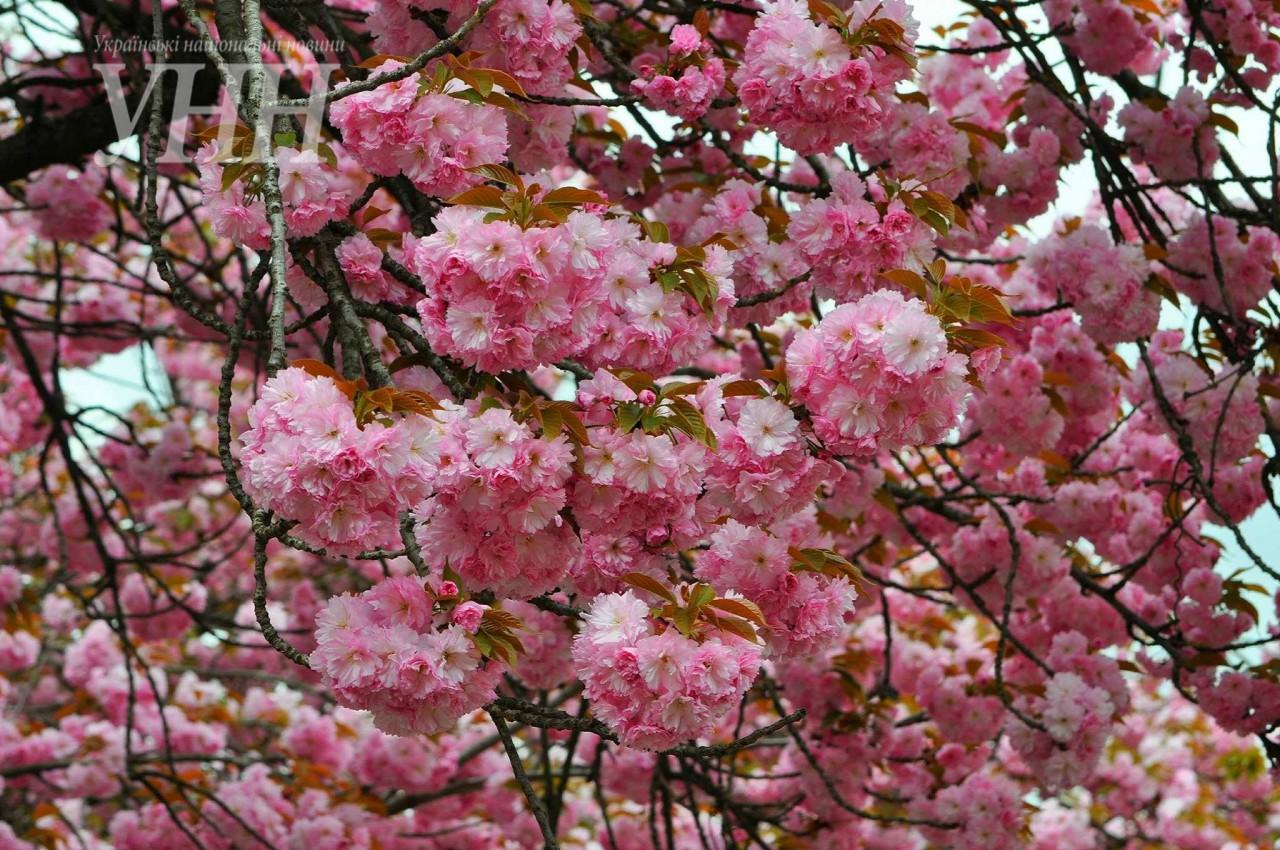 ce52921809e5f5002f1c93e853365a644c75ca88 Как цветут сакуры в Ужгороде
