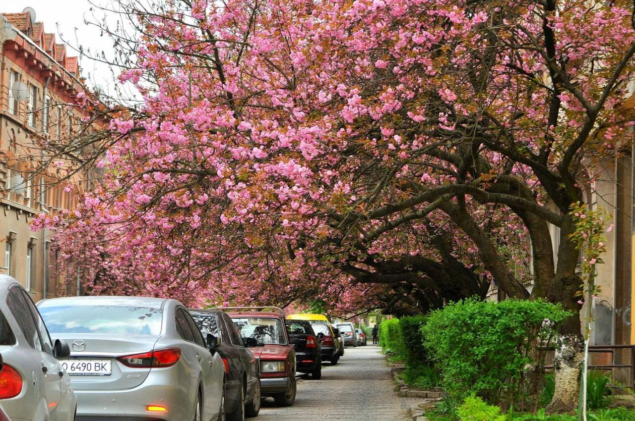 efa3dfeb78d48ef15bc19138b21e08f8835cadb3 Как цветут сакуры в Ужгороде