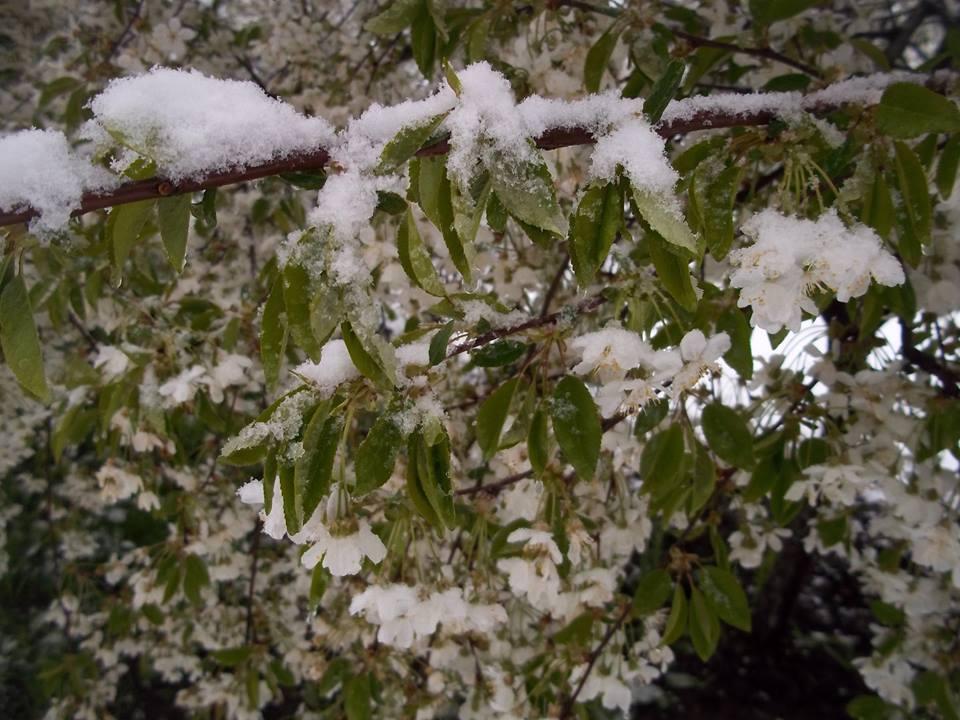 Зима в апреле: на севере области тюльпаны и цветущие деревья гнутся под тяжестью снега