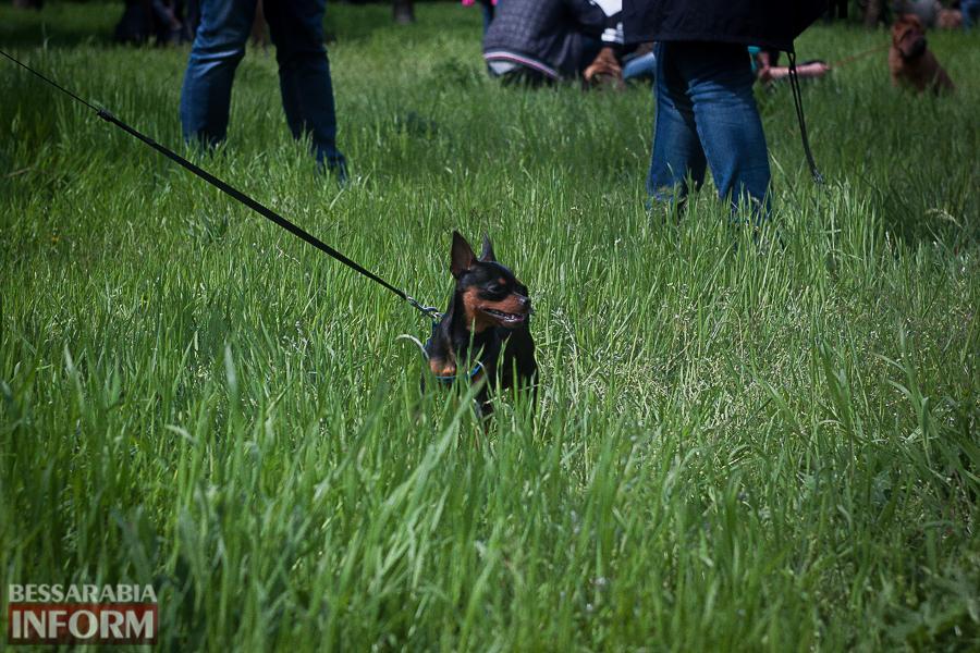 IMG_0443 Полный парк четвероногого счастья: в Измаиле прошел ежегодный племенной смотр собак