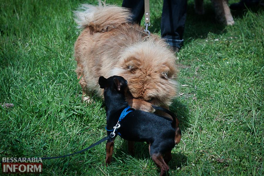 IMG_0444 Полный парк четвероногого счастья: в Измаиле прошел ежегодный племенной смотр собак