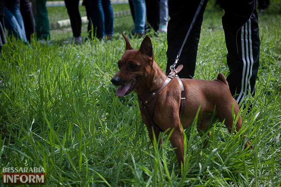 IMG_0454 Полный парк четвероногого счастья: в Измаиле прошел ежегодный племенной смотр собак