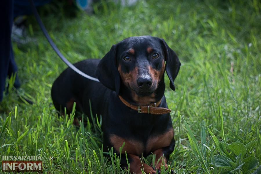 IMG_0476 Полный парк четвероногого счастья: в Измаиле прошел ежегодный племенной смотр собак