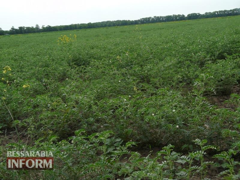 Экорай в Измаильском р-не: хозяйство-пионер из Сафьян выращивает органическую продукцию без капли химии