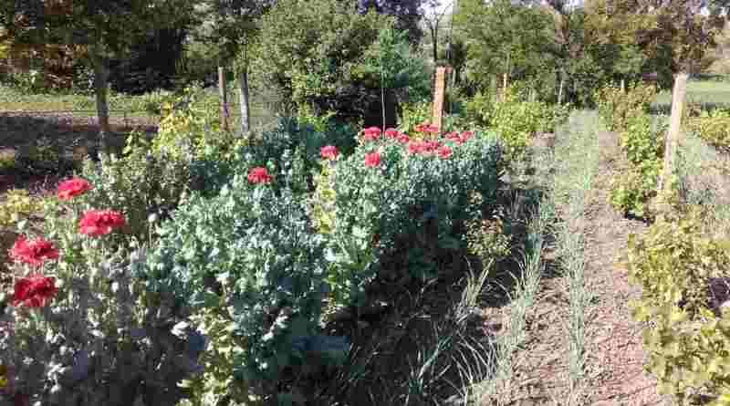 У жителя Болградского района полицейские изъяли с огорода 187 кустов снотворного мака