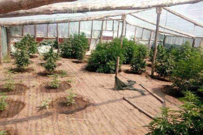 Владелец коноплянной плантации предложил майору полиции 300 тыс. грн взятки