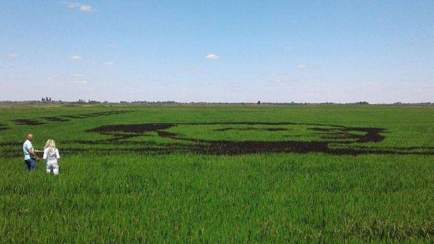 96963914_20138160_842058652626295_1006134593_o Украинские селекционеры из рисовых посевов создали гигантский портрет Кобзаря