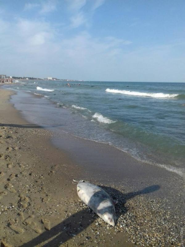 В Затоке курортники обнаружили мертвую морскую свинью