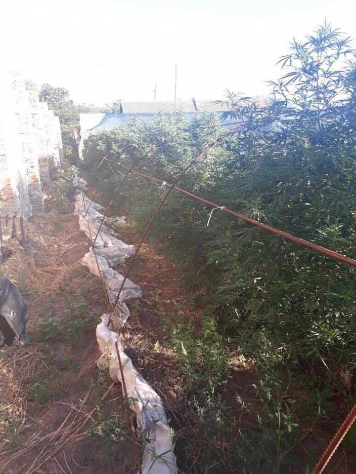 21272365_1658814607523949_9155128179676010400_n В Саратском районе наркодилер местного разлива собрал около 40 кг элитной марихуаны