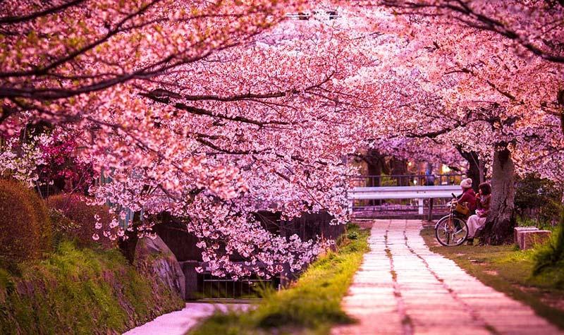 sakura-3 В Килии на улице Мира появятся сакуровый сквер и скамейка примирения