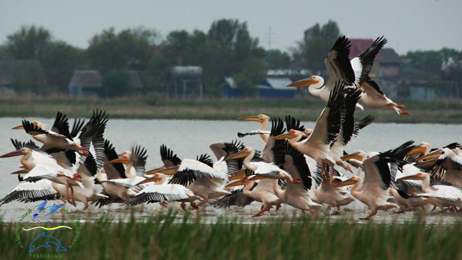 22046513_769840339868727_587416769985134881_n НПП «Тузловские лиманы»: идиллию краснокнижных птиц, готовящихся к перелету, нарушили выстрелы браконьеров