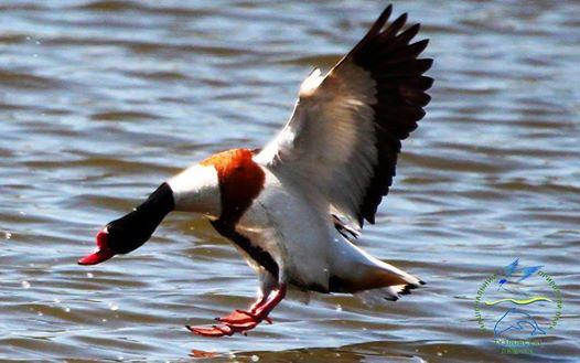 22141091_770492413136853_5827921738965171255_n НПП «Тузловские лиманы»: идиллию краснокнижных птиц, готовящихся к перелету, нарушили выстрелы браконьеров
