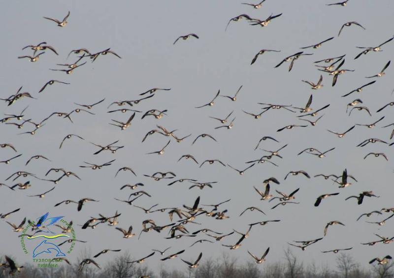 22405851_775571245962303_8243076258274292852_n Одесская область принимает мигрирующих белолобых гусей