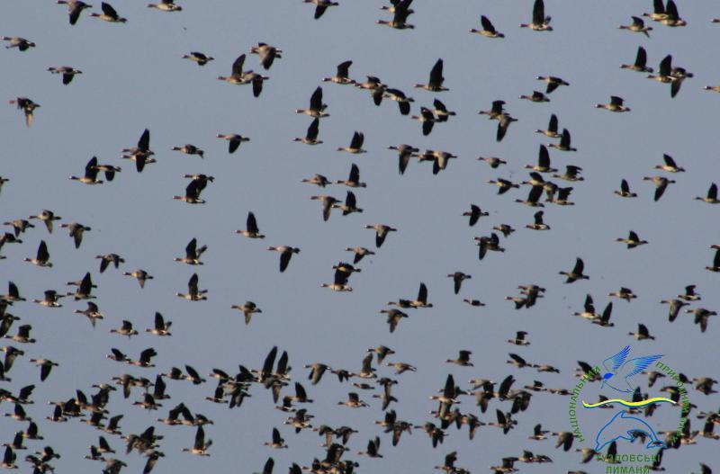 22426197_775571239295637_8643171117326961686_o Одесская область принимает мигрирующих белолобых гусей