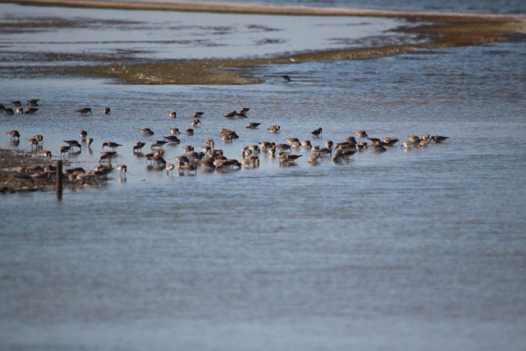 НПП «Тузловские лиманы» гостеприимно принимает мигрирующих чернозобиков