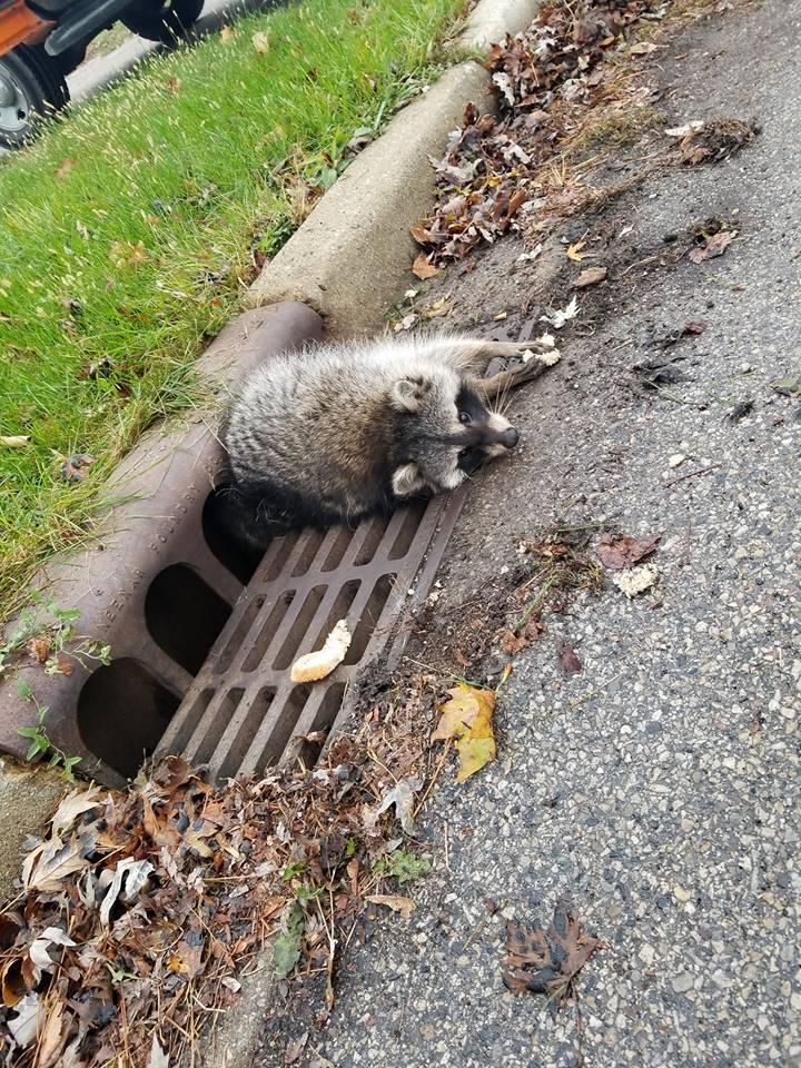 23130643_406012769815529_7241135153877127554_n Толстый енот застрял в решетке канализации: видео спасательной операции