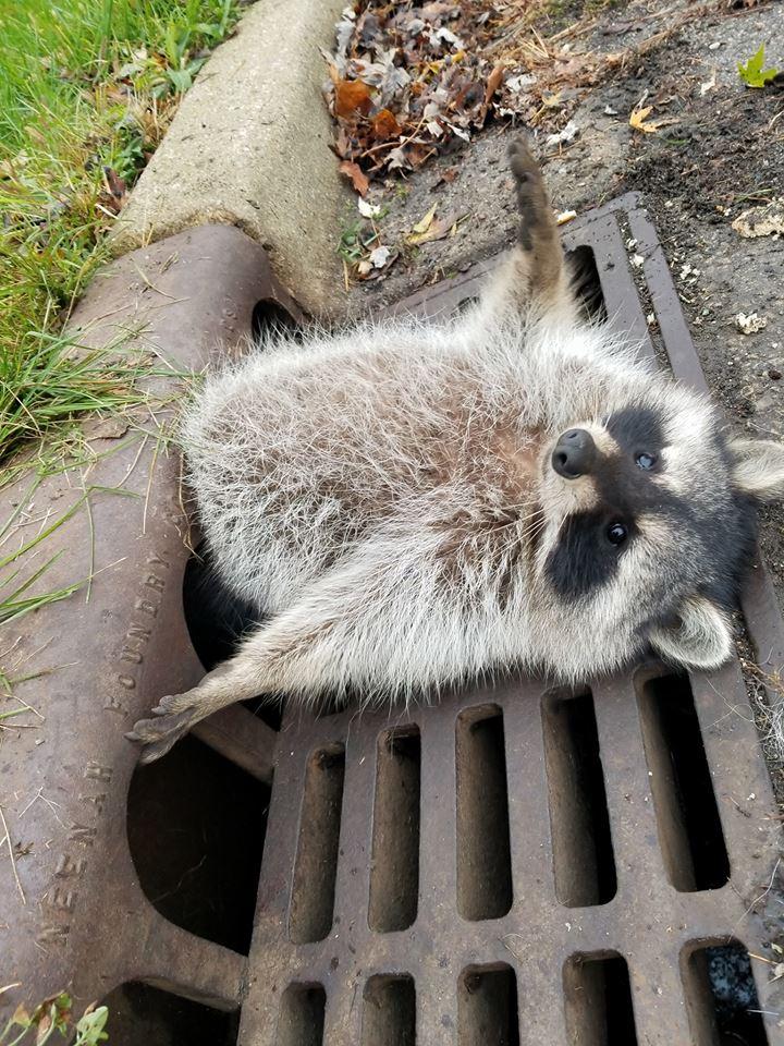 23130717_406012713148868_4279356199001571899_n Толстый енот застрял в решетке канализации: видео спасательной операции