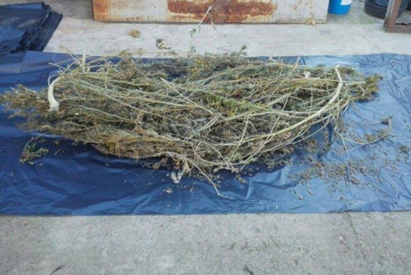 23755397_517492301941514_1573005813137803130_n Белгород-Днестровский р-н: у жителя села полицейские обнаружили 70 кг марихуаны