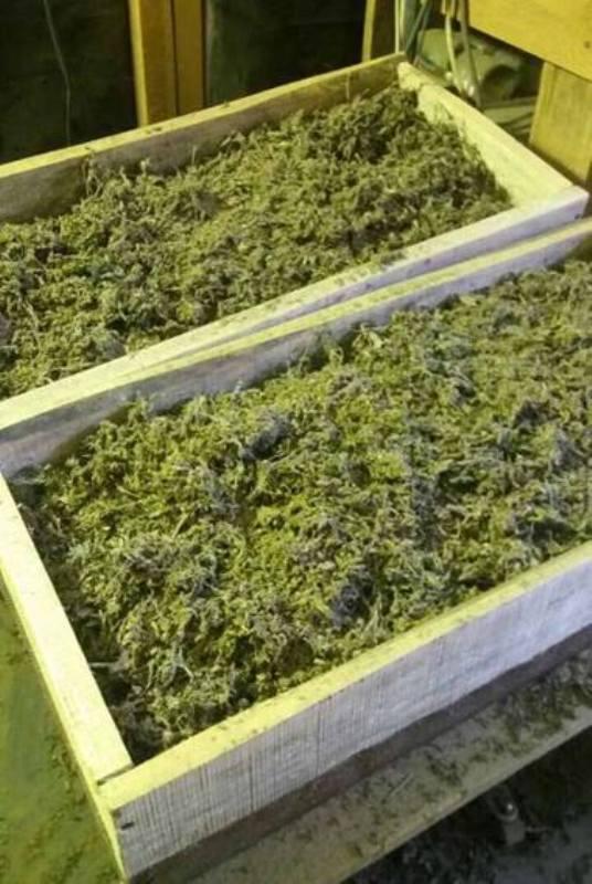 23795350_517492371941507_4745763860607793839_n Белгород-Днестровский р-н: у жителя села полицейские обнаружили 70 кг марихуаны