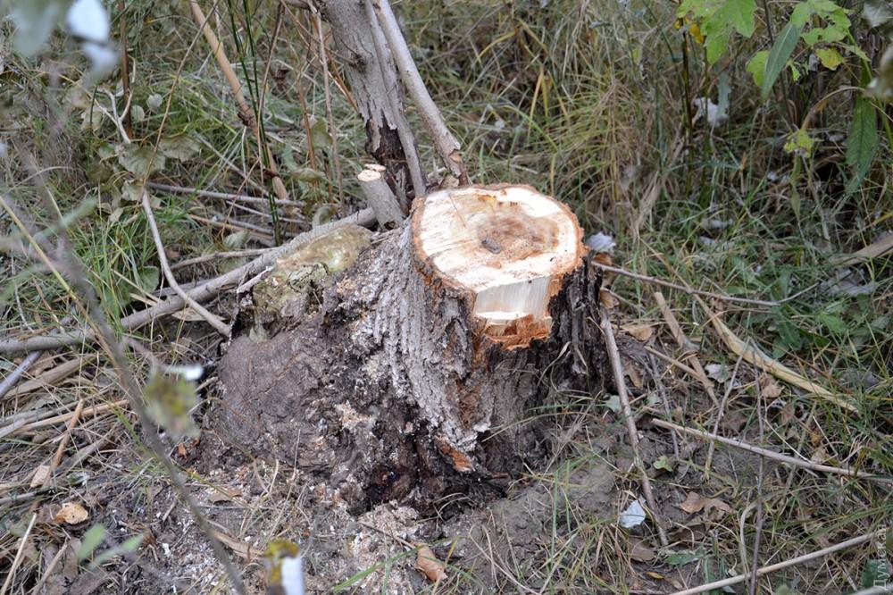 picturepicture_150755189292783295201190_67827 Чем дальше в лес, тем меньше дров: Измаильский лесхоз борется за спасение тающих лесных массивов