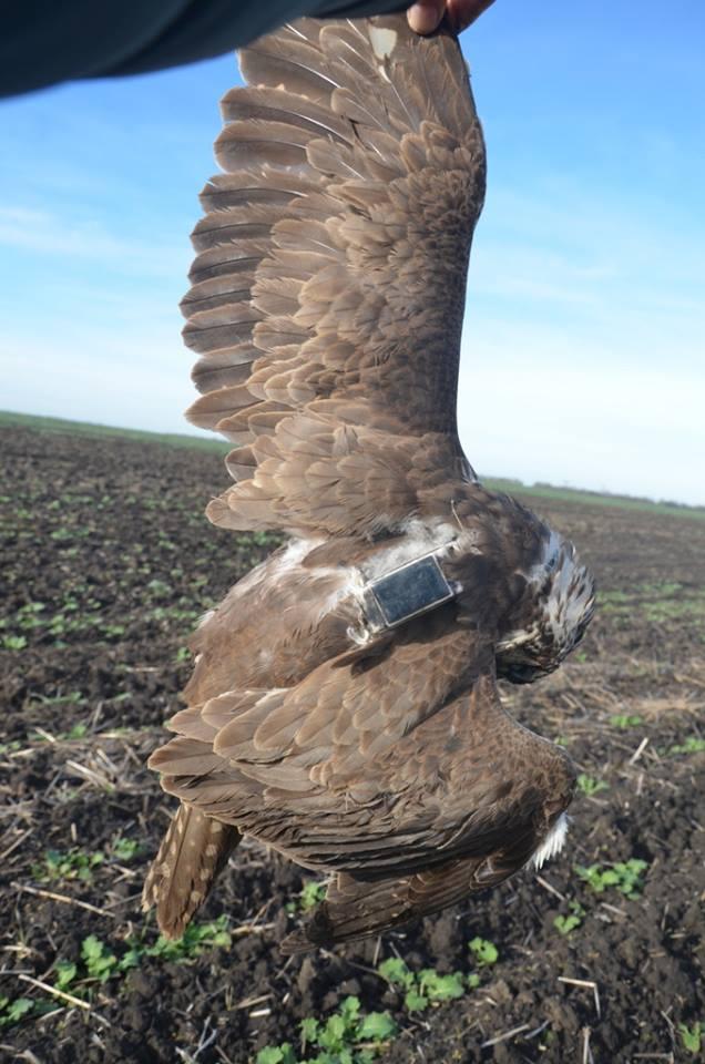 В Татарбунарском районе браконьер ради забавы застрелил краснокнижного сокола по имени Макс