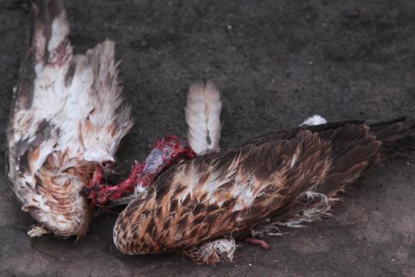 В Татарбунарском р-не истребляют хищных птиц, очередной мишенью стал краснокнижный канюк курганник (фото +18)