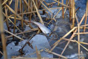 На озере Ялпуг люди добывают из-подо льда на корм животным массово погибшего малька