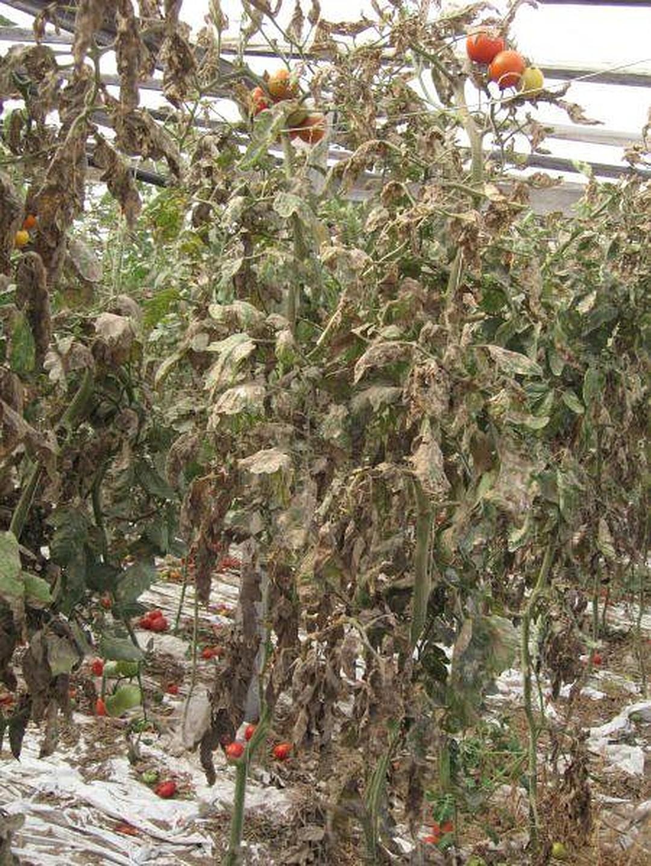 Одесская область вернула Турции 20 тонн томатов, зараженных опасным карантинным вредителем