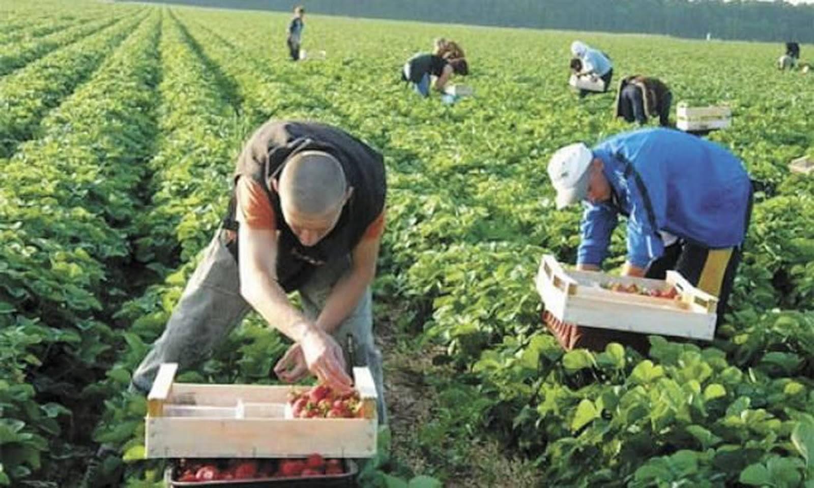 У поляков гниет ягода из-за нехватки рабочих рук - почему украинцы не едут в Польшу на заработки
