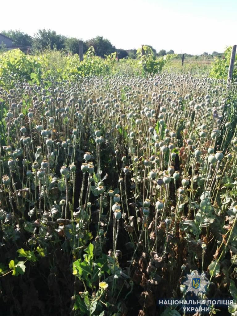 В Белгород-Днестровском районе - очередная плантация мака: в огороде выросло больше 3 тысяч кустов