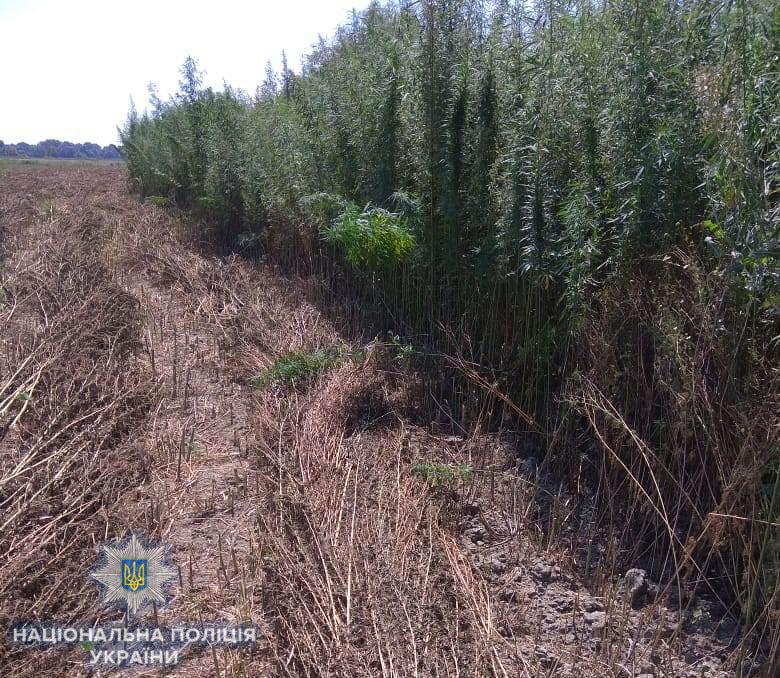 В Измаильском районе выращивали коноплю в промышленных масштабах