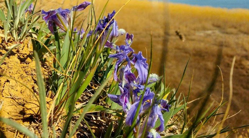В национальном парке «Тузловские лиманы» отмечено раннее цветение диких ирисов