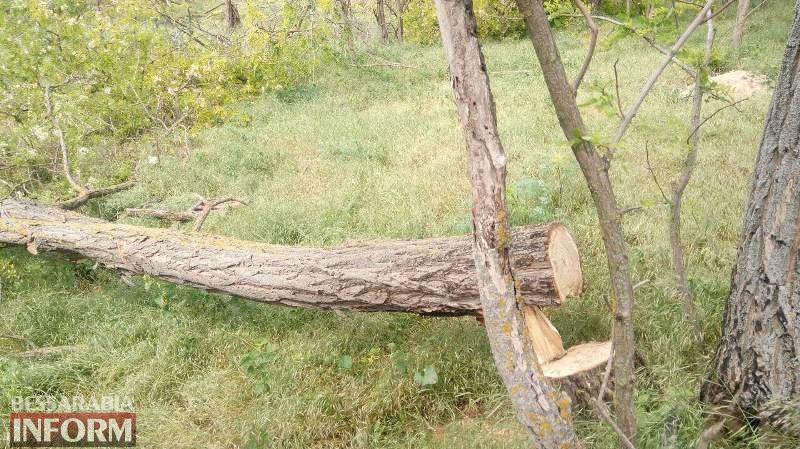 """""""Чёрные дровосеки"""" нагло уничтожают лесополосы в Измаильском районе (фотофакт)"""