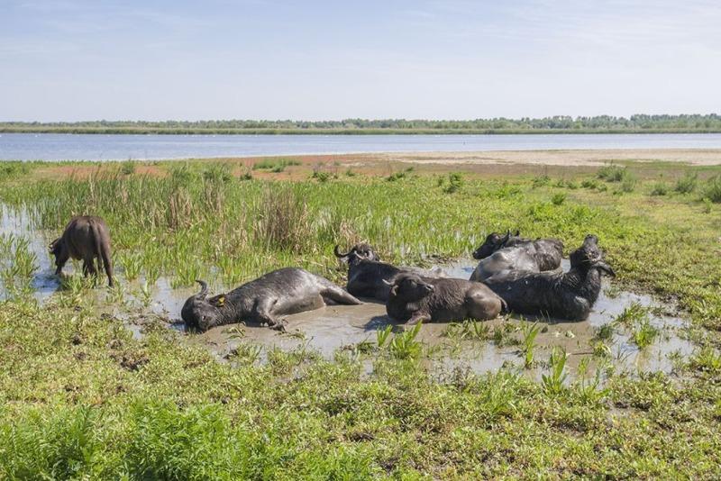 Восстановление уникальной экосистемы дельты Дуная: на острове Ермаков поселили первое стадо водяных буйволов