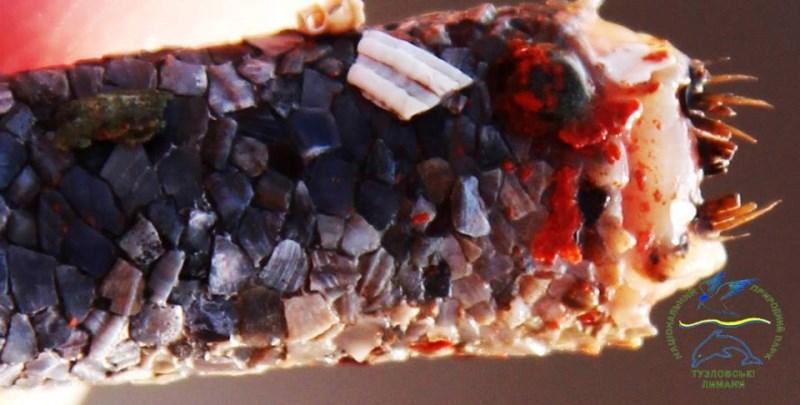 """Удивительное рядом: сотрудники НПП """"Тузловские лиманы"""" показали уникального «золотого» червя на дне лимана Бурнас"""