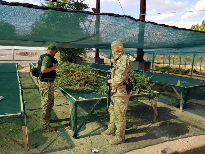 Промышленный масштаб: в Измаильском районе возле Сафьян обнаружены теплицы с коноплей - изъято более четырех тонн наркотиков