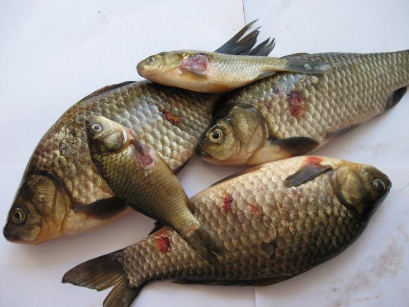 В Тарутинском пруду рыба поражена инфекционным заболеванием - местных жителей просят воздержаться от рыбалки