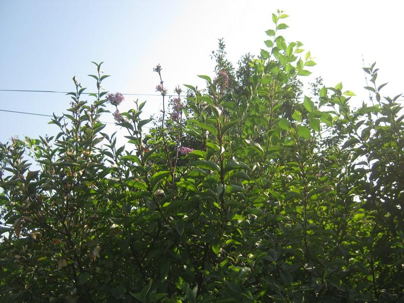 Перепутала осень с весной: в Арцизе в сентябре зацвела сирень (фотофакт)