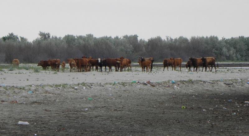 Липованский красный скот, новые для науки виды животных дельты Дуная