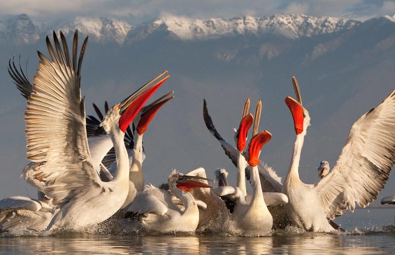 В Дельте Дуная стартует европейский проект по сохранению и увеличению популяции кудрявого пеликана