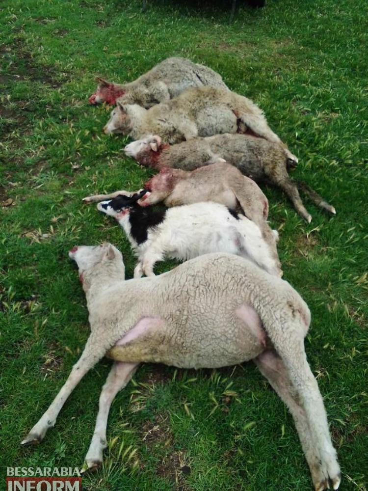 В Татарбунарах стая шакалов напала на овцеферму