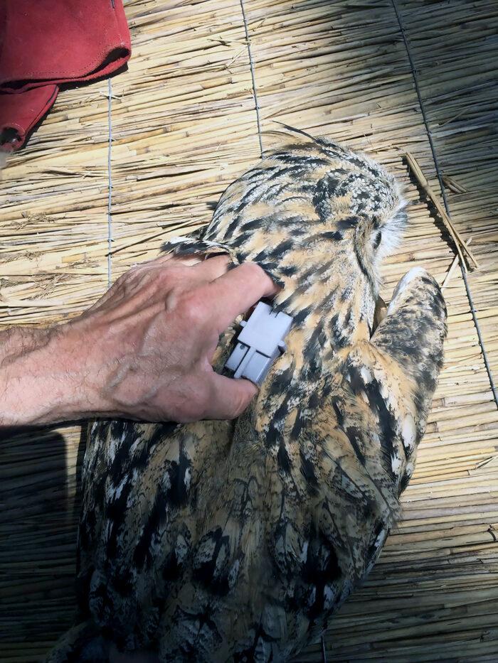 Герои украинских сказок: в Бессарабии в природную среду выпустили хищных птиц, которых не видели в этих краях уже 10 лет