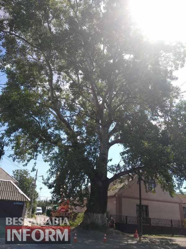 Коммунальные службы спиливают одно из самых больших и старейших деревьев Измаила - местные жители выступают против