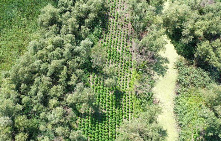 В Ренийском районе пограничники накрыли плантацию конопли на 40 млн гривен