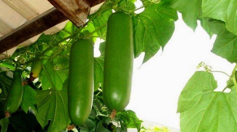 Фермер из Шевченково снова удивил, вырастив у себя на огороде бразильские экзотические овощи