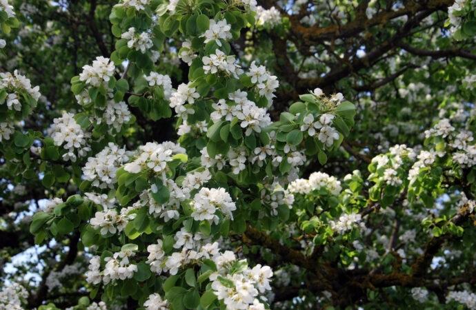 В Одесской области цветёт самая старая груша Украины. Возраст дерева - около 300 лет, диаметр ствола - более 4 метров