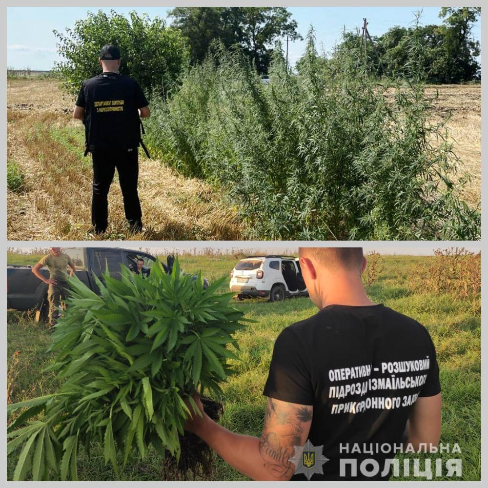 В плавнях среди камыша: в Измаильском районе обнаружено нарконасаждений более чем на 500 тыс. дол. США