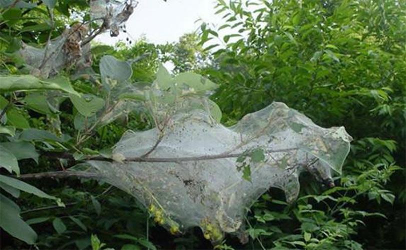 Нашествие гусениц на Бессарабию: с чем связано, опасны ли, что делать и когда пройдет